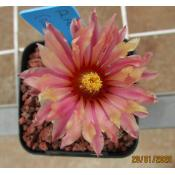 Astrophytum Asterias (Red Flowers) - Seed
