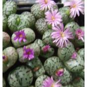 Conophytum - Seed
