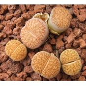 Dinterops (yellow flower) - Seed